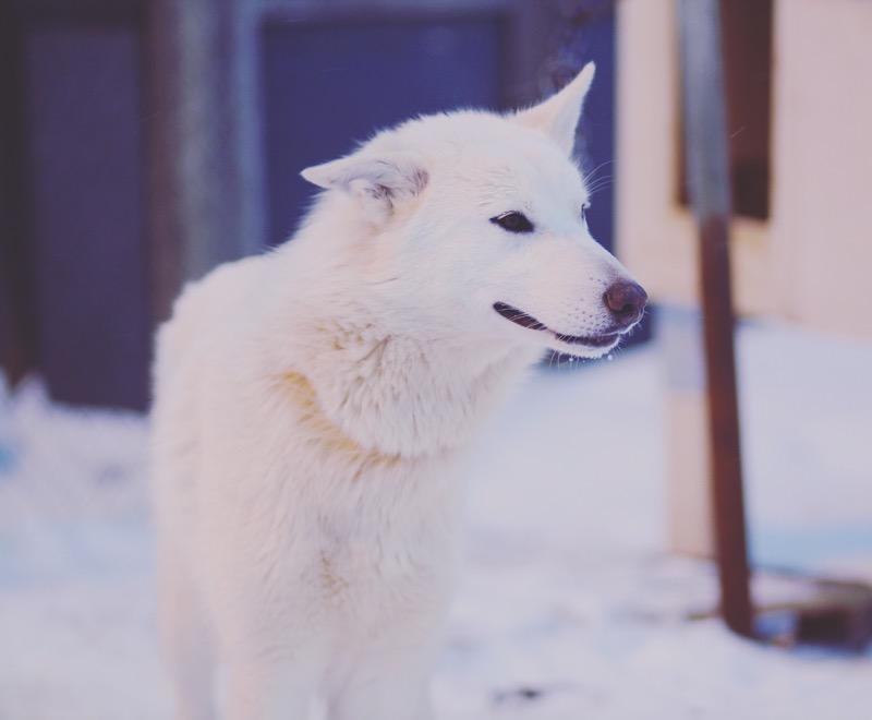 Svalbard  hundekjøring