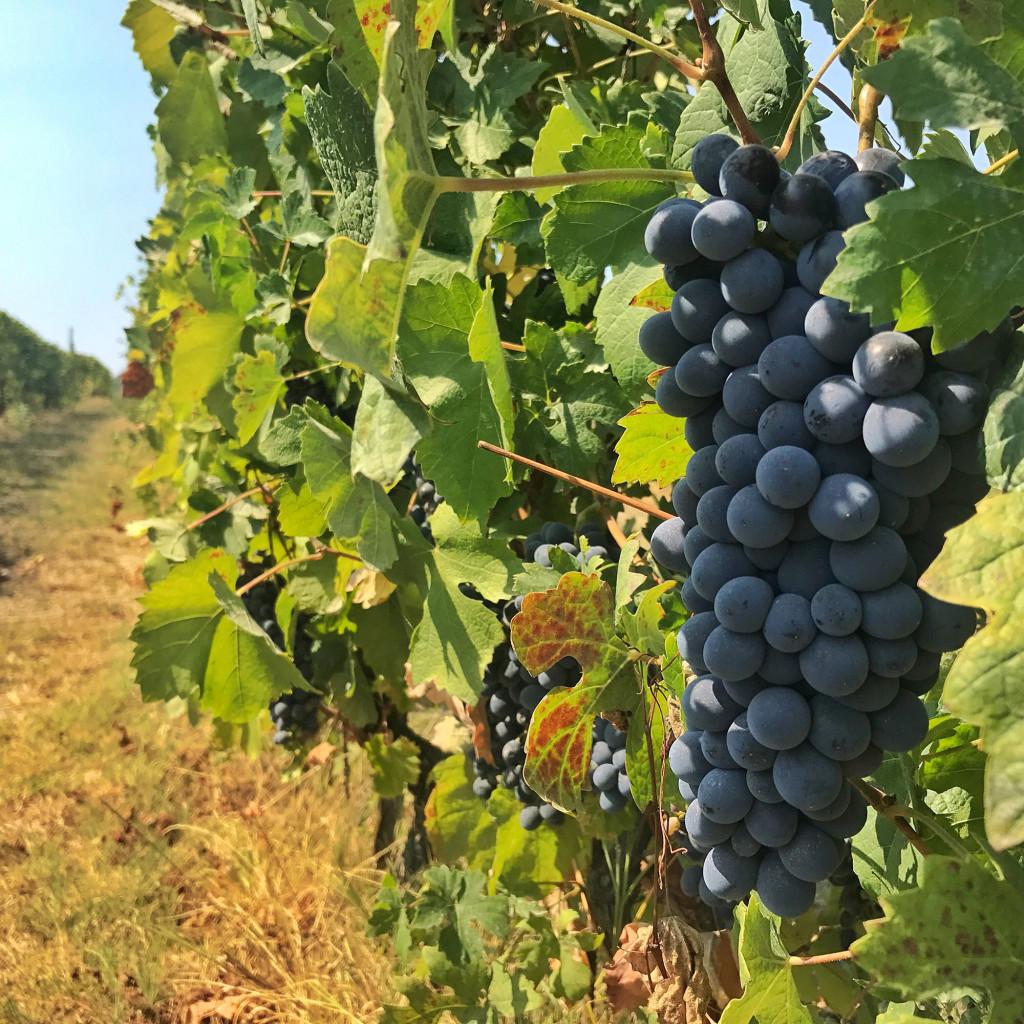 piemonte grapes