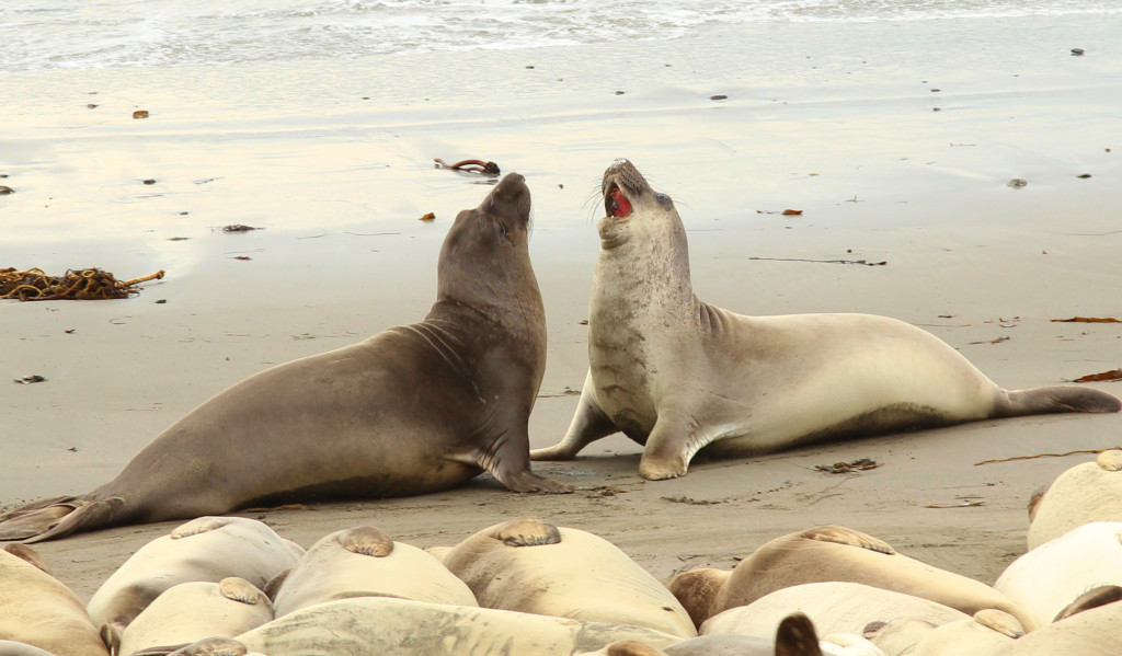 sea elephants fight 2