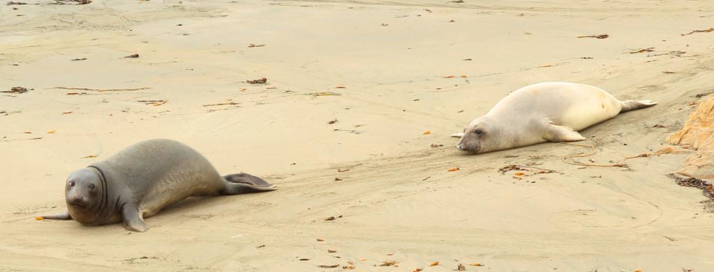 sea elephants san simeon california
